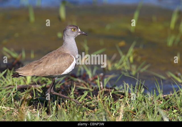 Senegal plover (Vanellus lugubris), stands in shallow water, South Africa, iSimangaliso Wetland Park - Stock Image