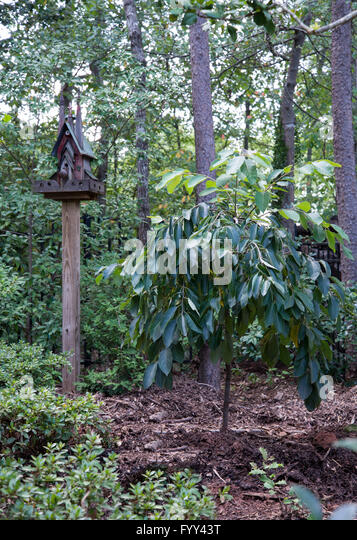 Diospyros virginiana, MAGIC FOUNTAIN,Persimmon, weeping tree - Stock Image
