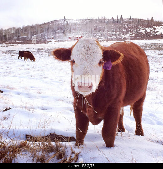 Cow standing in field in snow, Springdale, Utah, America, USA - Stock Image