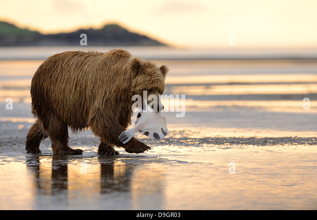 Grizzly Bear walking with caught fish in mouth - Stock-Bilder