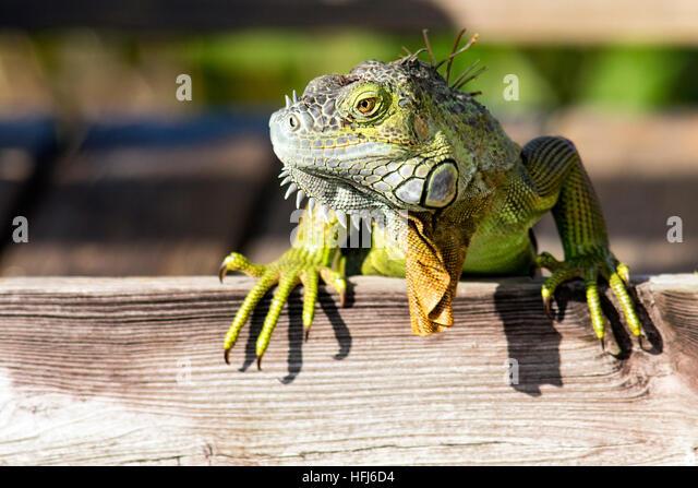 Green iguana (Iguana iguana) - Wakodahatchee Wetlands, Delray Beach, Florida, USA - Stock Image