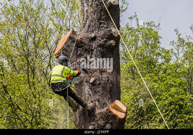 Tree Surgeon Cutting Down Tree Arboriculture Arboriculturist Dangerous Occupation Working at Height Using a Chain - Stock Image