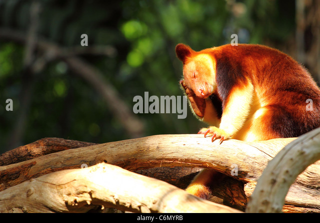 Kangaroo in Australia - Stock Image