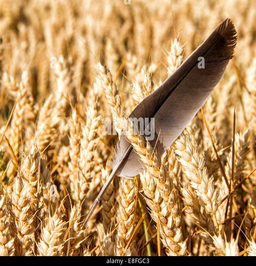 Feather in wheat field - Stock Image