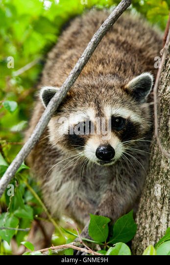 Raccoon - Birch State Park - Fort Lauderdale, Florida USA - Stock Image