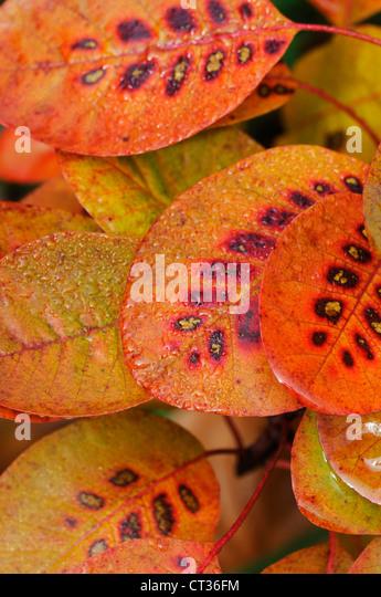 Cotinus coggygria, Smoke bush - Stock Image