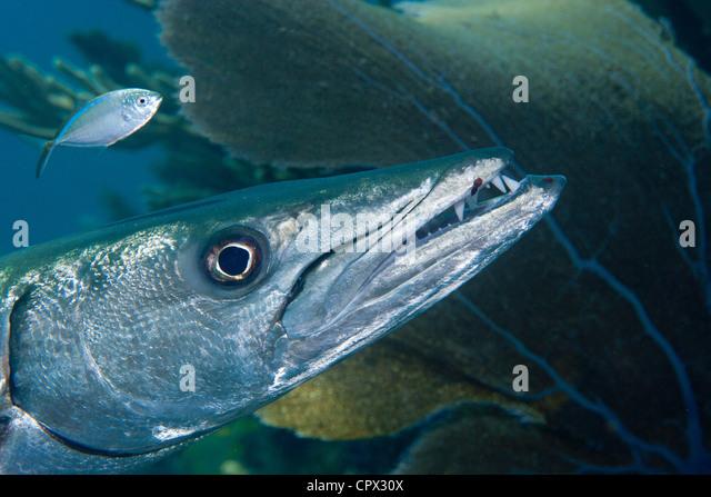 Closeup of Great Barracuda - Stock Image