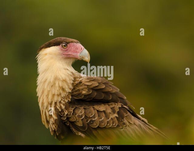 Crested Caracara (Caracara cheriway) portrait - Stock Image