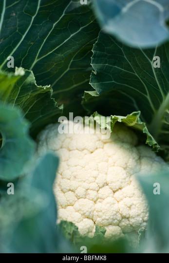 Cauliflower growing, close-up - Stock Image