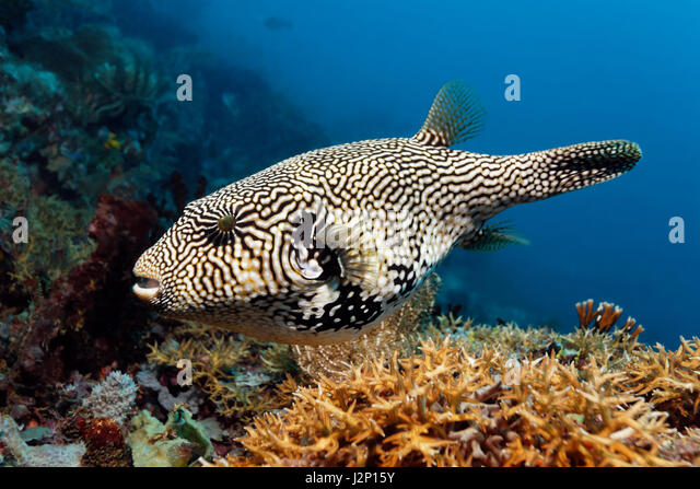 Map puffer (Arothron mappa), Raja Ampat, Papua Barat, West Papua, Indonesia, Pacific Ocean - Stock Image