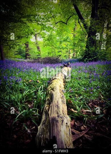 Bluebell woodland in Norfolk, U.K. - Stock-Bilder