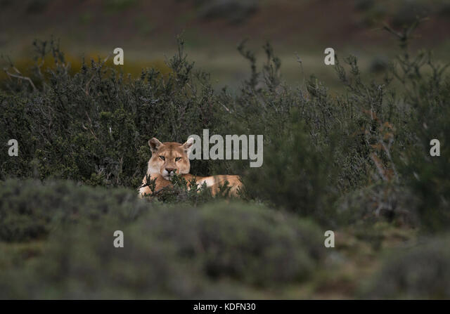 A Puma from Torres del Paine, Chile - Stock Image