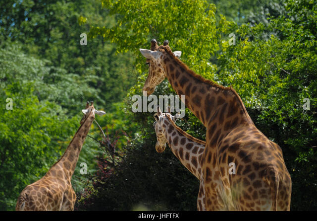 giraffes in captivity Characterized by their size, their long legs and neck and distinct fur pattern, giraffes are unmistakable  in the case of the rothschild's giraffe,.