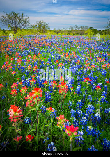 Bluebonnets in Ennis, Texas. Lupinus texensis, the Texas bluebonnet, is a species of lupine endemic to Texas. - Stock-Bilder