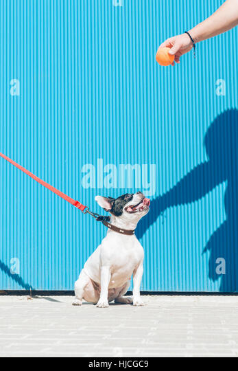 French bulldog dog seat looking the ball toy of its owner. The background is a blue wall - Stock Image