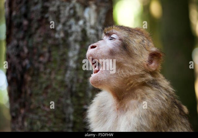 Tired barbary ape - Stock Image