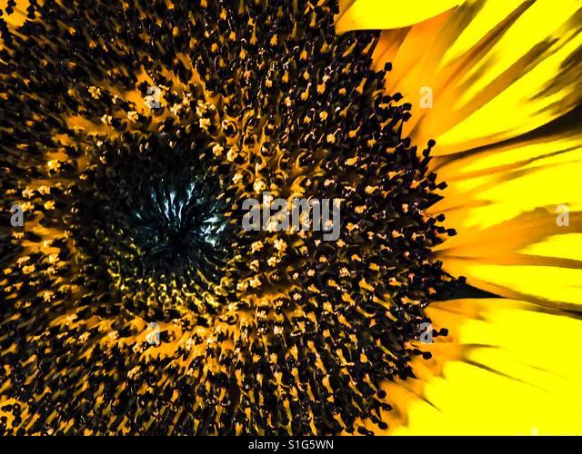 Sunflower - Stock-Bilder