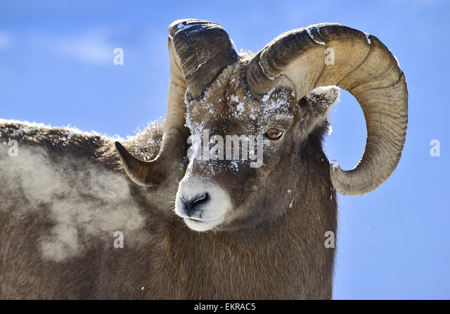 A close up portrait image of a rocky mountain bighorn ram , - Stock-Bilder