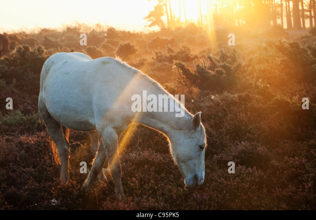 England, Hampshire, New Forest, Ponies and Sunrise - Stock Image