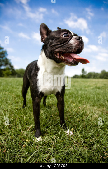 Boston terrier outdoors - Stock Image