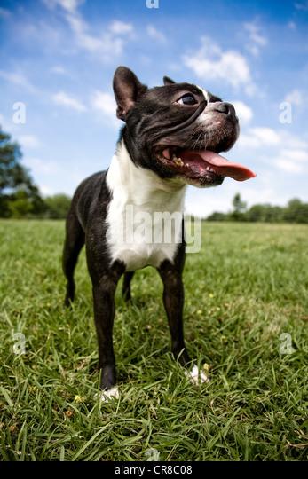Boston terrier outdoors - Stock Image