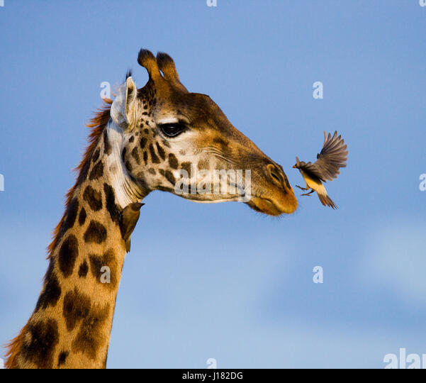 Giraffe with bird. Kenya. Tanzania. East Africa. An excellent illustration. - Stock Image