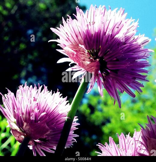 Flowering chives - Stock Image