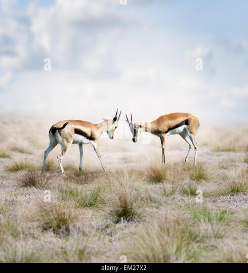 Two Young Thomson's Gazelles Fighting - Stock Image