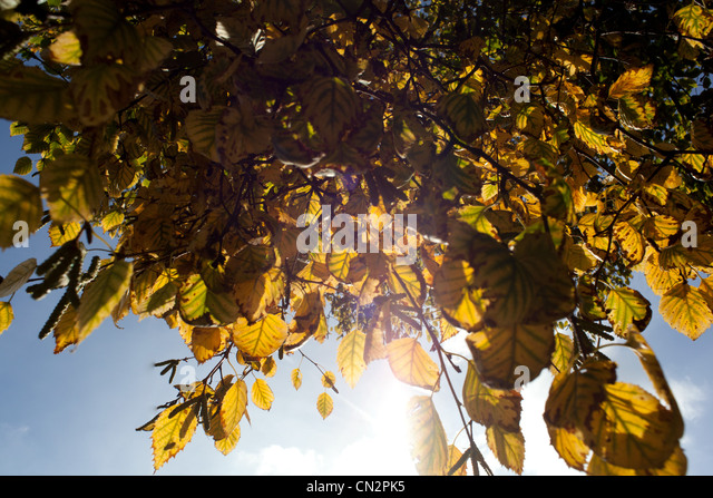 Autumn leaves, low angle view - Stock Image