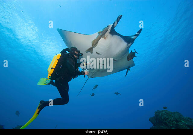 Diver with Manta ray, Mexico. - Stock-Bilder
