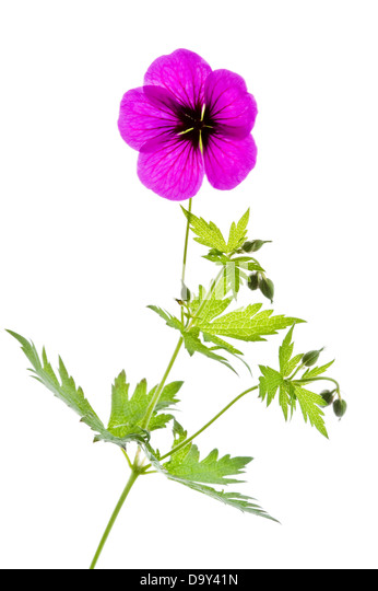 Geranium 'Ann Folkard' flower, leaves and buds on white background Award of Garden Merit July England UK - Stock Image