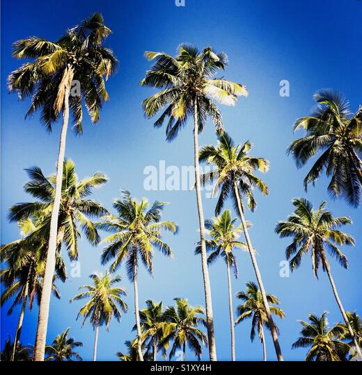 A bunch of palm trees. Maui, Hawaii. Hawaiian Islands. - Stock Image