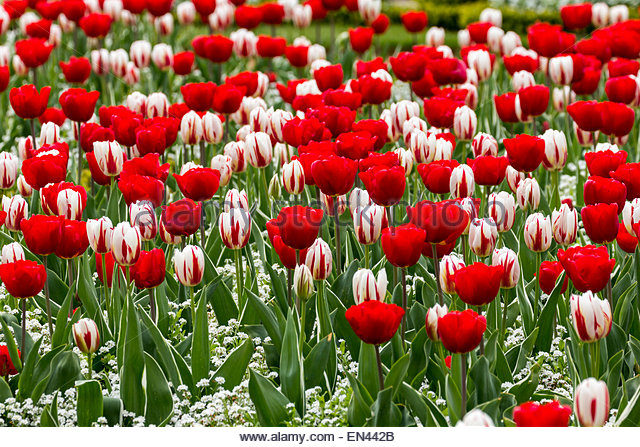 St George's Day Concept - Red and White Tulips.  Varieties are Cassini (red) and Happy Generation (red and white) - Stock Image
