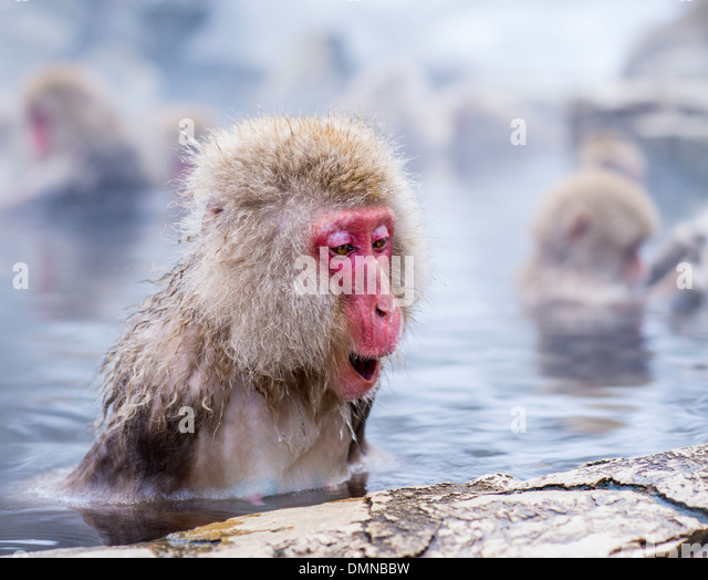 Macaques bath in hot springs in Nagano, Japan. - Stock-Bilder