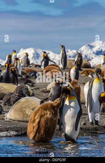 King penguin (Aptenodytes patagonicus) adult feeding chick, Gold Harbour, South Georgia Island - Stock Image
