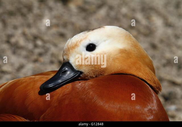 Ruddy Shelduck (Tadorna ferruginea) - Stock Image