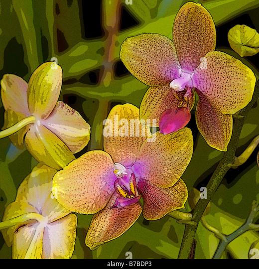 PHALAENOPSIS BROTHER SARA GOLD - Stock Image