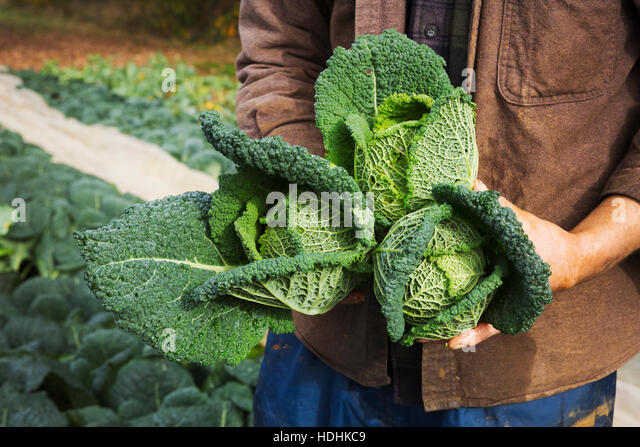 A man holding three freshly picked cabbages in a field. - Stock Image