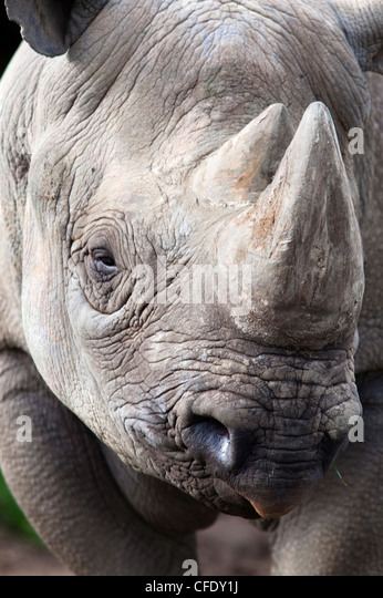 Black rhino (Diceros bicornis), captive, native to Africa - Stock-Bilder