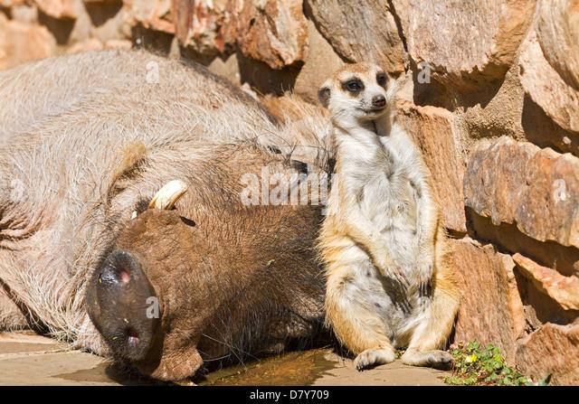 Meerkat And Warthog Relationship