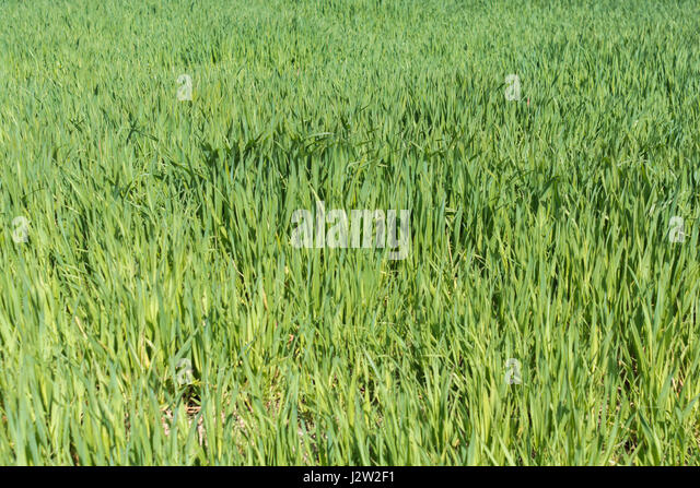 Swathe of fresh green grass =-metaphor for many related 'grass' sayngs - like 'Don't Let the Grass Grow - Stock Image