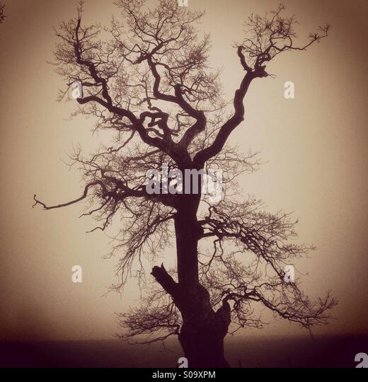 Old Oak tree, England, UK - Stock Image