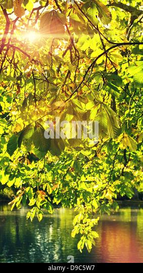 sunlight through leaves - Stock Image