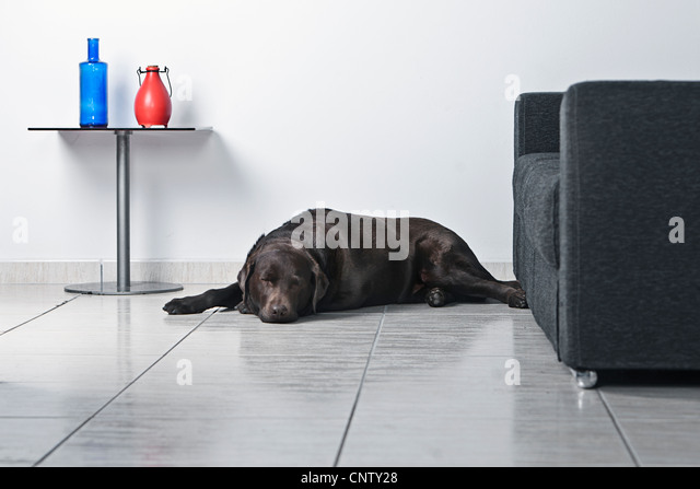 Chocolate Labrador Asleep on Living Room Floor - Stock Image