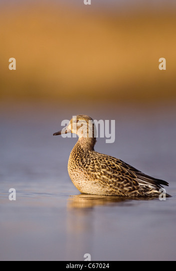 TEAL Anas crecca Profile of an alert adult female in golden morning light. Norfolk, UK. Photographer.Andrew Parkinson - Stock-Bilder