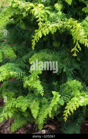 Chamaecyparis FERNSPRAY GOLD, conifer - Stock Image