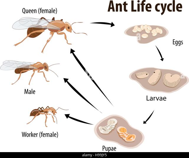 Ant Life Cycle Of A N ...