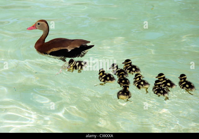 white-winged whistling duck - Stock Image