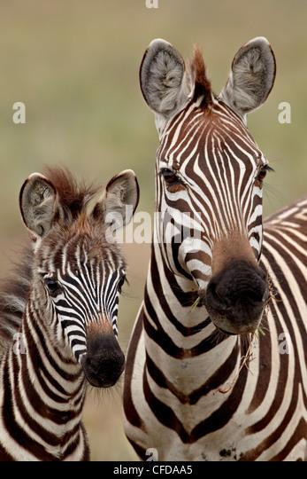 Common zebra,Burchell's zebra (Equus burchelli) mother and calf, Serengeti National Park, Tanzania, East Africa, - Stock Image
