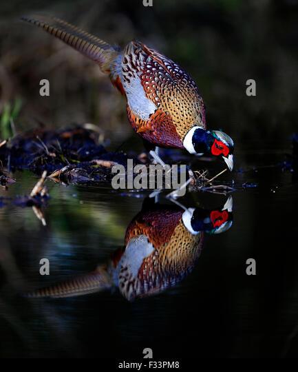 Pheasant Phasianus colchicus male drinking at woodland pool Norfolk - Stock-Bilder